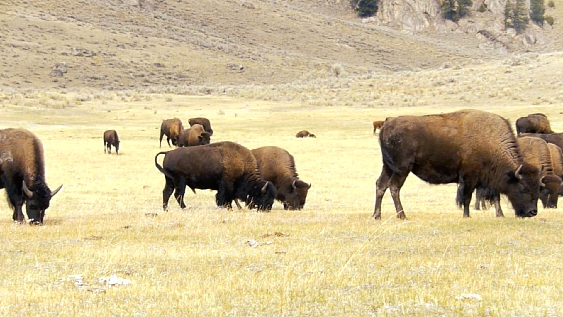 Yellowstone Buffalo Herd