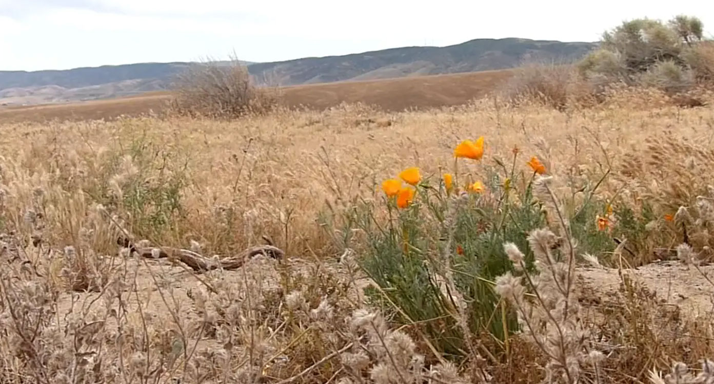 Desert Poppies in Antelope Valley