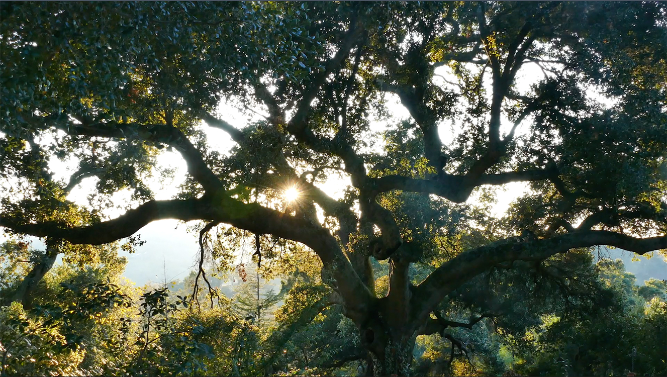 Ancient Oak Sunset